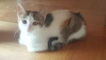 """Kätzchen """"Iris"""" dreifärbig"""